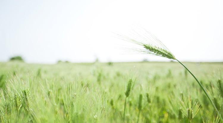 Mặt Nạ Tẩy Tế Bào Da Chết Từ Lúa Mạch Xanh Innisfree Green Barley Gommage Mask 120ml - 131170961