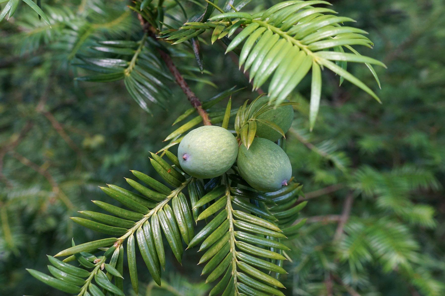 Quả Bija, một nguyên liệu quý hiếm được trồng trên hòn đảo Jeju, Hàn Quốc (ảnh: internet).