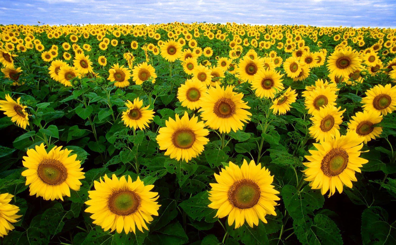 Chiết xuất mầm hoa hướng dương, một thành phần chính tạo nên sản phẩm (ảnh: internet).